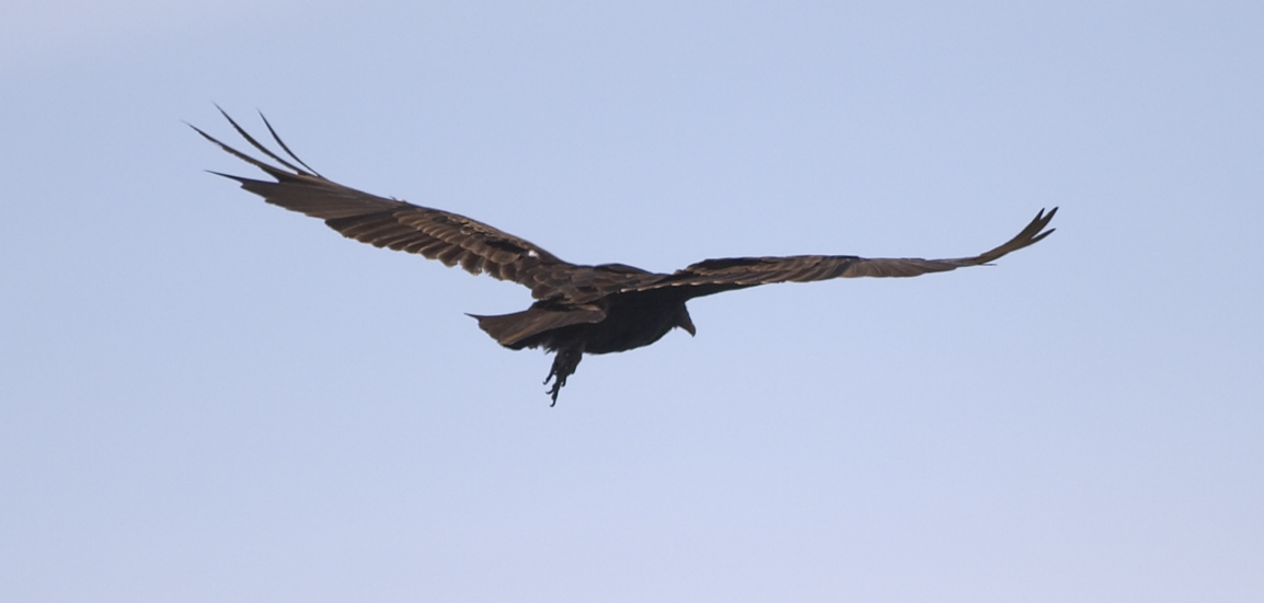 Resultado de imagem para hawk flying